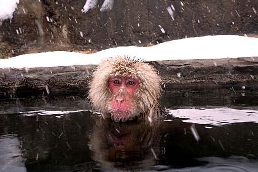 Makake in Japan wärmt sich in einem Onsen